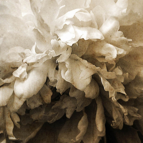 pétrouchka flower