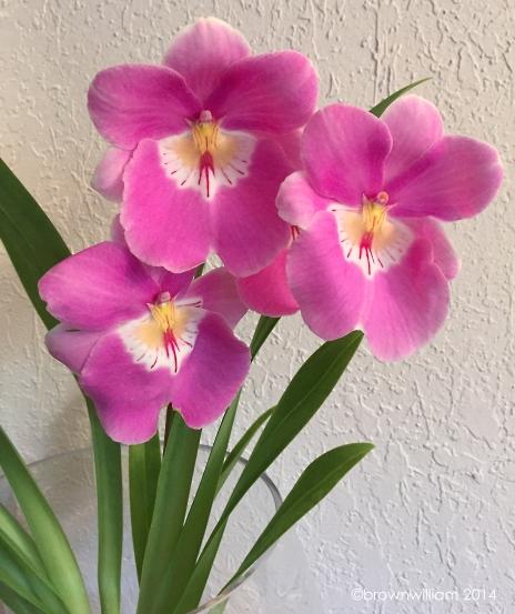 Milt. Linda Lingle 'Kia'aina'Orchid